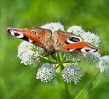 Peacock Butterfly by Susie Peek