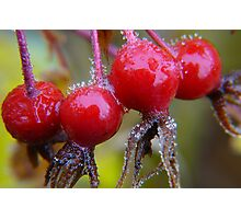 Winter Apples,(Frosted Rose-hips) Photographic Print