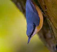 Nuthatch by Neil Bygrave (NATURELENS)