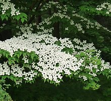 Dogwood Milky Way by Kenneth Hoffman