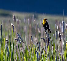 Yellow Headed Blackbird #2 by Ken McElroy