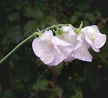 Sweet pea after rain by M G  Pettett
