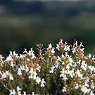 White Blossoms by Nuno Pires