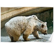 Bear at Melbourne Zoo Poster