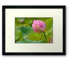 colorful lotus Framed Print