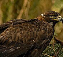 Golden Eagle by TeresaB