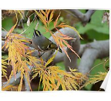 Tiny yellow and brown wren in Japanese Maple Poster