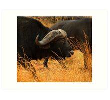Eye-balling a Cape Buffalo Art Print