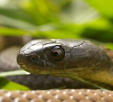 Baby Tasmanian Tiger Snake born March 09 by Thow's Photography