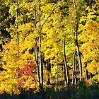 Fall Foliage - Brown County State Park by Jennifer Ferry