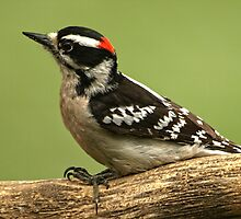 Male Downy Wood-pecker by drop-thumb