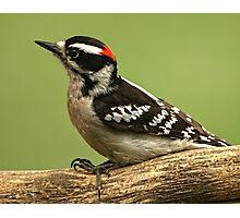 Male Downy Wood-pecker Photographic Print