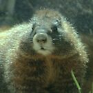 Marmot Close-up - Are You Looking at Me? by Susan Russell