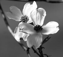 Dogwood Blooms by love2shoot