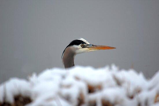Heron, Ridgefield Washington Wildlife Refuge by Bob Hortman