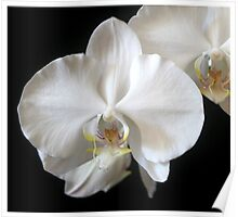 White Orchid with a Yellow Touch Poster