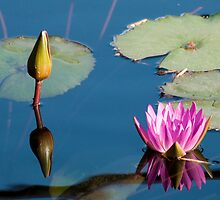 Reflections Of Two Lilys by Jarede Schmetterer