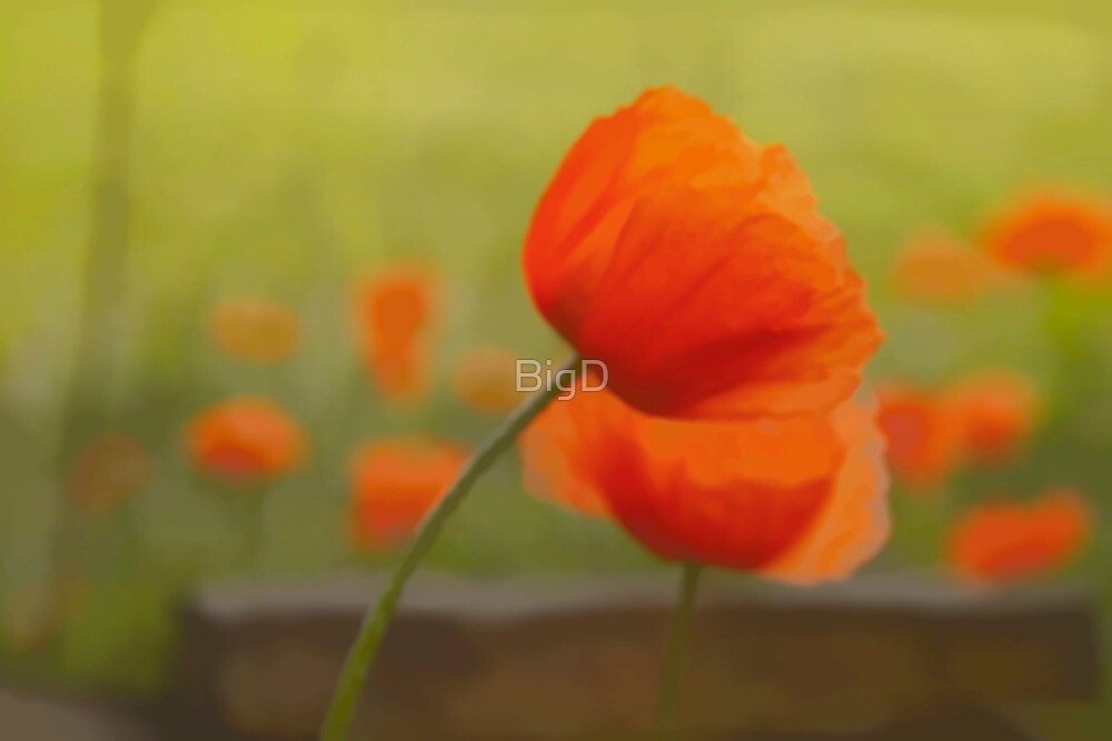 Poppies by BigD