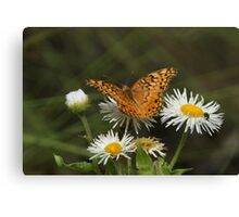 Veriegated Fritillary, Euptoieta claudia Canvas Print