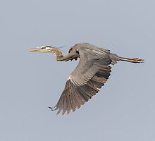 Great Blue Heron In Flight 2015-4 by Thomas Young