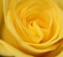Flower: Yellow Rose I by adpixels