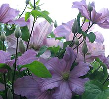 Lavender Clematis by Fiery-Fire