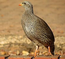 Natalse fisant / Natal Spurfowl by Elizabeth Kendall