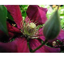 Magenta Bloom Photographic Print