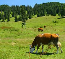Cows on the green mountain pasture. by demigod