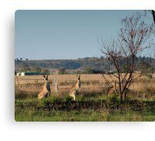 Kangaroos in the Arvo Canvas Print