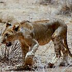 Lion Cub by Jonathan Perry