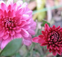Scandalous Pink Dahlias by MarianBendeth