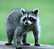 Raccoon Staring by Liviu Leahu