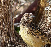 Western Bowerbird by solena432