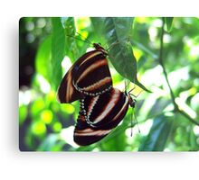 Orange Banded Butterflies - Cockrell Butterfly House Metal Print