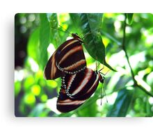 Orange Banded Butterflies - Cockrell Butterfly House Canvas Print