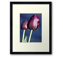 Tulip - Queen of the Night Framed Print