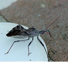 Wheel Bug by sunsetgirl