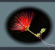 Fairy Duster - Madera Canyon, Arizona by John Absher