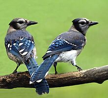 Blue-Jay couple by drop-thumb