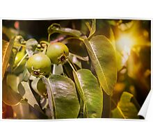 Young Green Pears Poster