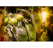 Young Green Pears Photographic Print