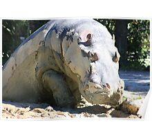 hippos mud bath Poster