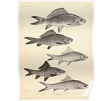 The fishes of India by Francis Day 126 - Fimbriatus Labeo nandina Macronotus Poster