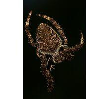 Eriophora transmarina - Garden Orb Weaver Photographic Print