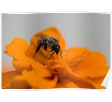 Honey Bee at work Poster