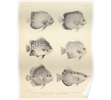The fishes of India by Francis Day 027 - Holacanthus Annularis, H Xanthurus, Scatophagus Argus, Ephippus Orbis, Drepane Punctata, Toxotes Chatareus Poster