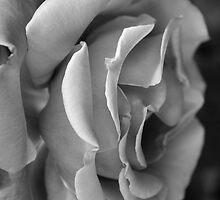 rose in mono by Clare McClelland