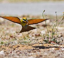 ANZANG 2009 Animal Behaviour: Rainbow Bee Eater Entering Nest by Wayne Eddy Photography