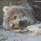 Kodiak Bear @ Taraonga Zoo Sydney by porky84